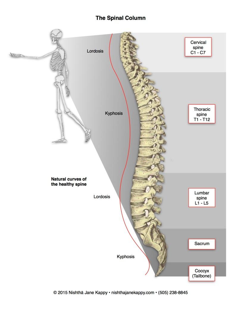 The Spinal Column Illustration Nishth Yoga Therapeutics